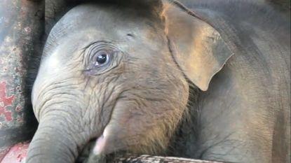 Schokkende beelden: olifanten voor toeristisch uitstapje worden zwaar mishandeld