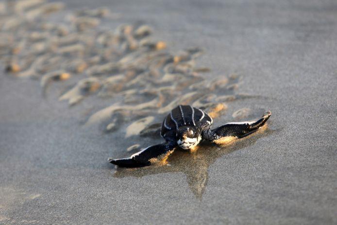Een lederschildpad. De populatie van deze schildpad op Costa Rica nam sinds 1970 met 84 procent af