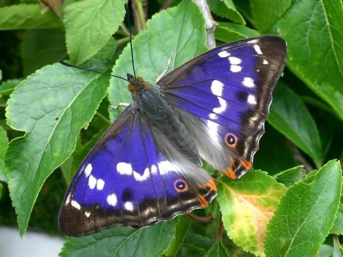 De grote weerschijnvlinder is een van de 30 vlindersoorten die in het Kuinderbos voorkomt.