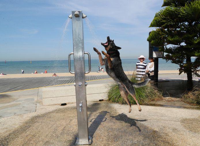 Een hond zoekt verkoeling onder een douche in St. Kilda, Melbourne.
