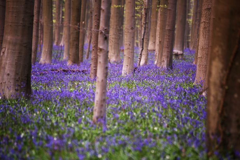 Hyacintenfestival in het Hallerbos in Halle. Duizenden bezoekers trokken dit weekend naar het bos op de paarse boshyacinten te bewonderen.