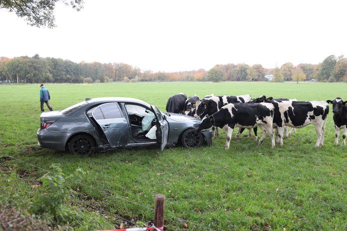 Nieuwsgierige koeien inspecteren het voertuig waarmee de beschonken automobiliste in Ommen in een weiland belandde.