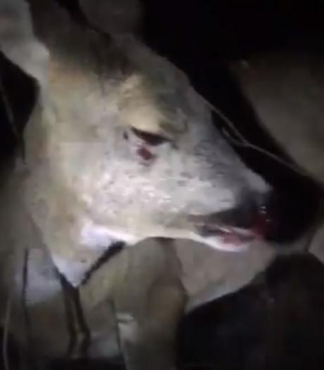 Hartverscheurende beelden stervend hert: 'De chauffeur liet haar zo achter'