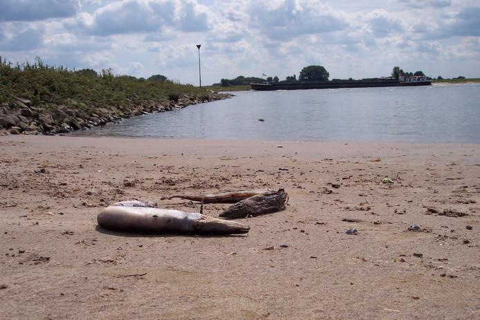 Knakpaling. Dode paling op een strandje aan de Waal