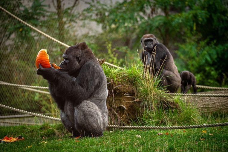 De gorilla's zijn een van de grote attracties van de Zoo. Voorlopig zal u dat spektakel nog moeten missen.