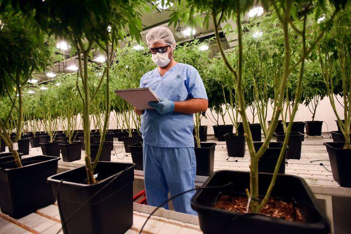 Illustration: cannabis thérapeutique en Ururguay - Le Canada, lui, abrite même en Bourse des producteurs de cannabis récréatif. Le pays est devenu le deuxième pays au monde à légaliser cette drogue douce le 17 octobre 2018, cinq ans après l'Uruguay
