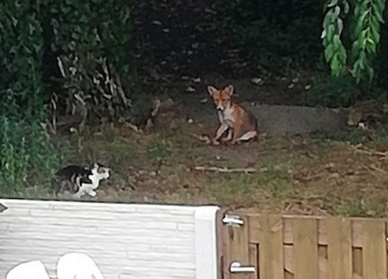Vosje en kat kunnen het met elkaar vinden.