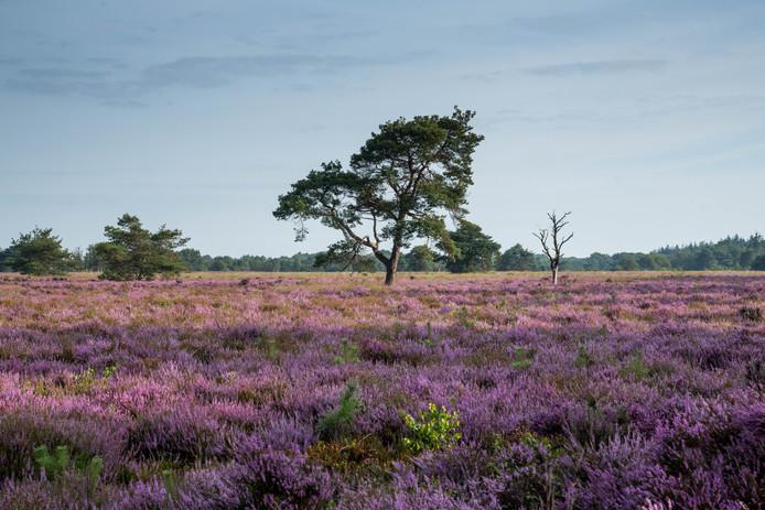De bloeiende heide op de Veluwe kleurt prachtig paars.