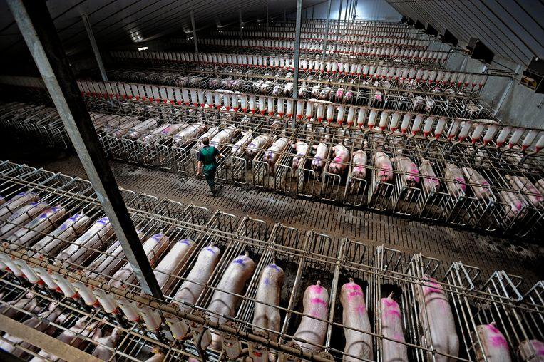 Een megastal met varkens.  Beeld Raymond Rutting / de Volkskrant
