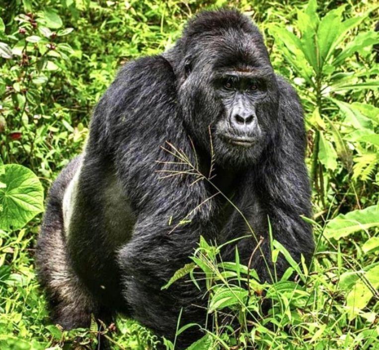 Le gorille de montagne Rafiki