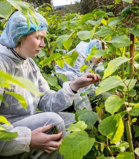Japanse bladvlo moet Japanse duizendknoop in Amsterdam bestrijden