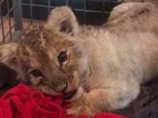 Parijse politie vindt leeuwenwelpje in Lamborghini