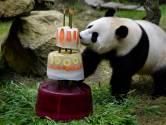 Valentijnsdag in Ouwehands Dierenpark: gaan reuzenpanda's voor een liefdesbaby?