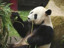 Wéér pech voor Ouwehands: dit jaar geen pandababy