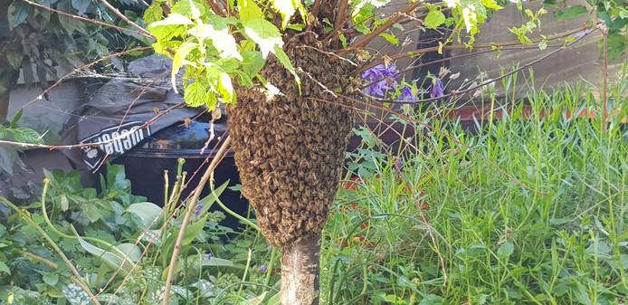 Annemiek Jongkind werd opgeschrikt door een zwerm van 8000 bijen in haar tuin in Dordrecht