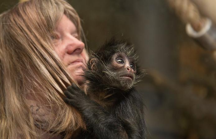 Het spinaapje Smiley Hope houdt zich vast aan zijn verzorgster Heike Laekamp in de dierentuin van Osnabrück. Omdat de moeder van het dier er niet voor kon zorgen, wordt het zwartkopaapje nu door mensenhanden grootgebracht. Foto: Friso Gentsch