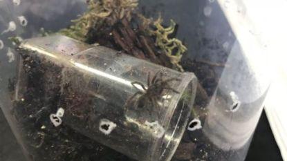Inwoners Brits stadje op zoek naar twee ontsnapte tarantula's... die een spanwijdte van wel 25 centimeter kunnen hebben