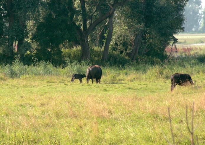 Eerste Waterbuffeltje geboren in Biesbosch