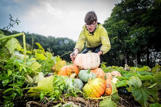 Pompoenen oogst bij Franken Fruit. Foto: Tonny Presser/Pix4Profs