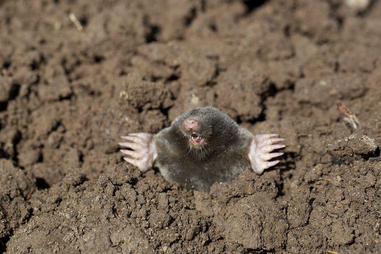Een mol duikt op uit de grond.  Beeld
