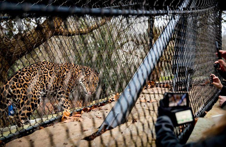 Het verblijf bestaat uit twee delen ¿ voor iedere jaguar een deel - dat wordt gescheiden door het binnenverblijf. Beeld anp