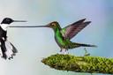 Twee kolibries gefotografeerd door Jan van der Greef.