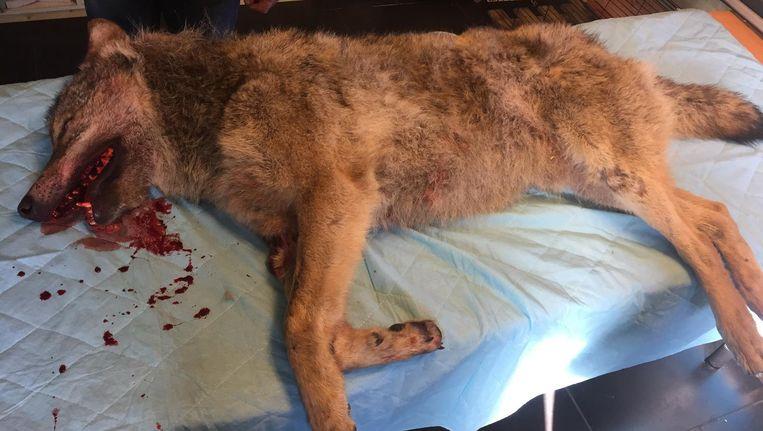 De dode wolf bij Stichting Faunavisie Wildcare in Groningen. Beeld RTV Noord / Steven Radersma