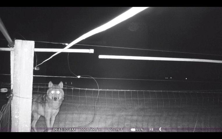 Wolf August aan schrikdraad (archiefbeeld).