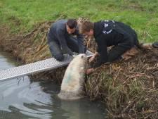 Jongens redden schaap in Zuidland