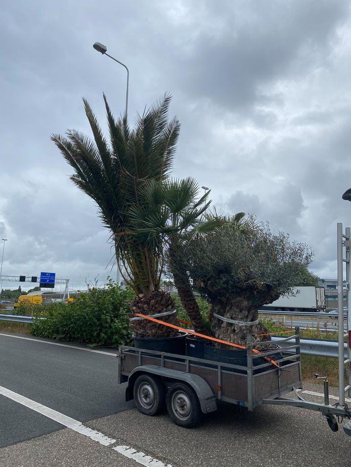 Deze tropische verrassing liet donderdagmiddag de hoogtemelder in de Beneluxtunnel afgaan. De boom bleek vijf meter hoog.