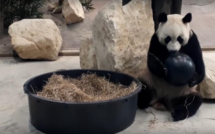 Eén van de panda's in Ouwehands Dierenpark in Rhenen speelt met een bal.