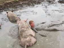 Jeroen (15) snapt nu waarom varkens zo graag in de modder liggen: 'Het is echt lekker koel'