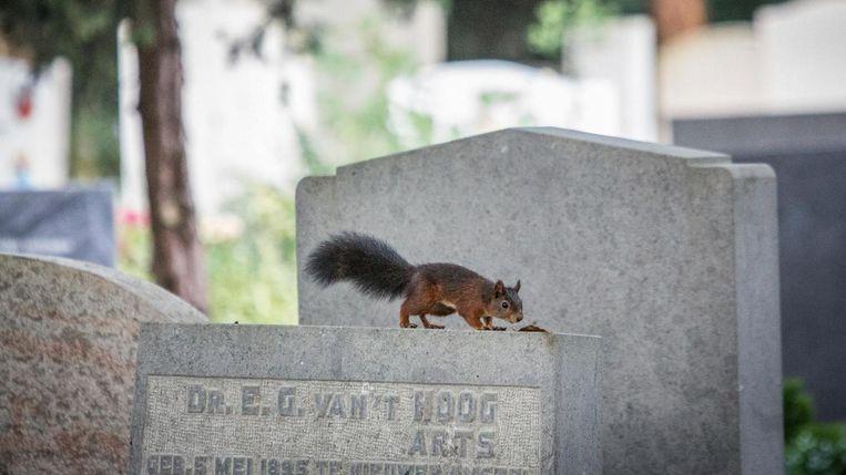 Een eekhoorn op Zorgvlied. Beeld Dingena Mol