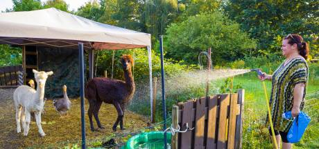 Zo voorkomen verzorgers hittestress bij dieren: Appie de alpaca doucht het liefst elke dag