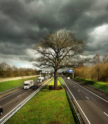 Helmonds bedrijf IJK zet zich in voor behoud van 'troeteleik' langs A58