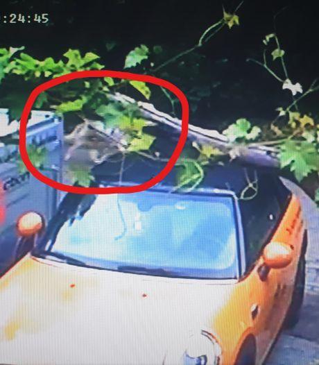 Loopt er een wolf rond in een Arnhemse woonwijk?