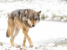 Gelderland wil snel weten of de wolf zich definitief heeft gevestigd op de Veluwe