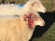 Razende herdershond richt slachting aan onder Drentse schaapskudde