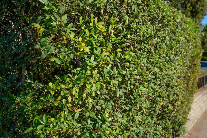 De haagliguster is een groene erfafscheiding.