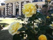 Bewoners Zeemansasyl willen rosarium behouden: 'Het zou verschrikkelijk zijn als de rozen de container ingaan'