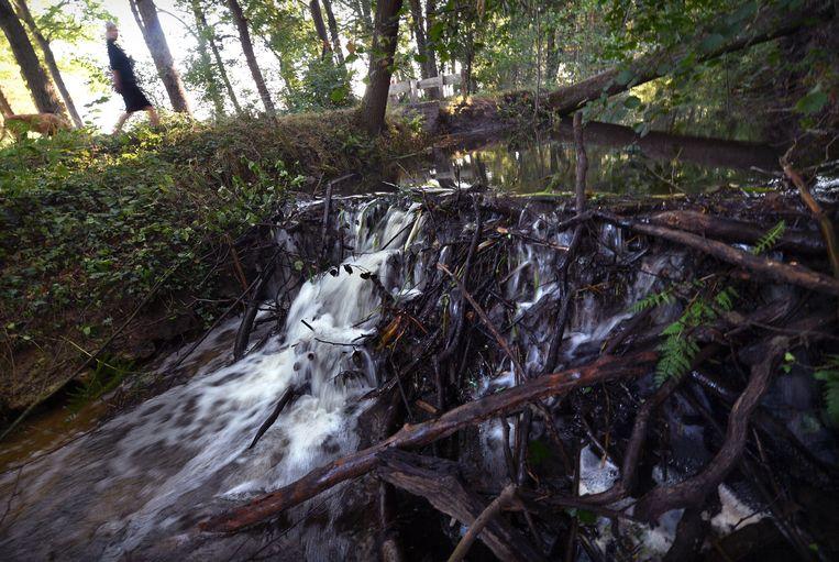 Bevers houden niet van droogte en daarom bouwde een bever of beverkoppel de dam. Beeld Marcel van den Bergh / de Volkskrant