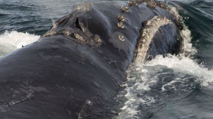 Walvisgezang van uiterst zeldzame soort voor het eerst opgenomen