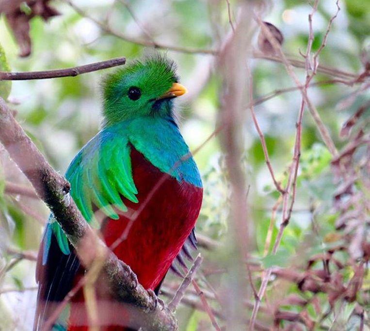 De Respledent Quatzal in Costa Rica. Beeld Arjan Dwarshuis