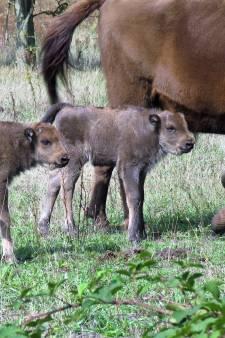 Kudde wordt te groot: Maashorst moet tien wisenten laten gaan