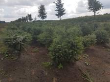 Duizenden kerstbomen vernield bij kwekerij in Zeeland; 'Volstrekt zinloze actie'