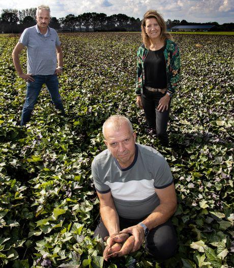 Zoete aardappel: tropisch gewas met potentie als Brabants streekproduct