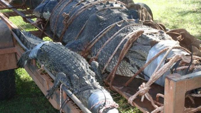 Wildbeheerders wisten het 4,7 meter lange watermonster na acht maanden eindelijk te vangen.