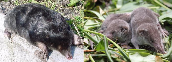 Links de mol, rechts twee spitsmuizen. De snuit komt redelijk overeen, maar de klauwen zijn toch echt anders.