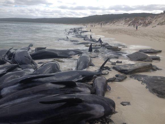 Zo'n 150 walvissen spoelden vorige maand al aan in Hamelin Bay in West-Australië.