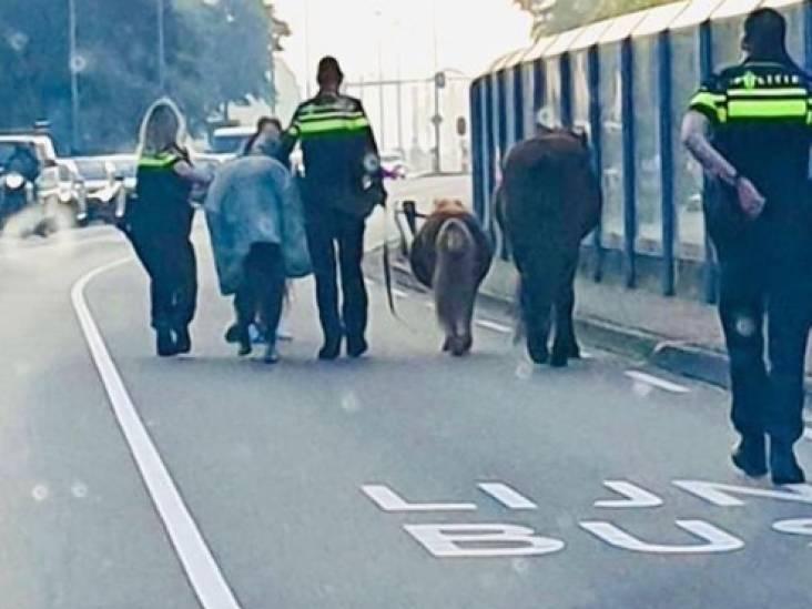 Ontsnapte paarden over drukke Geldropseweg richting centrum Eindhoven: 'Dit kon fout aflopen'